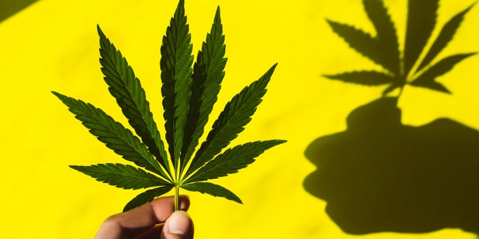 marijuana leaf being held in front of yellow background