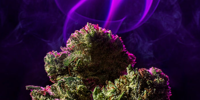 cannabis buds in front of a purple curtain