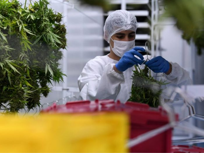 woman working with cannabis leaves