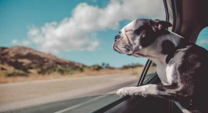a dog leaning out of the car window as it travels down the road