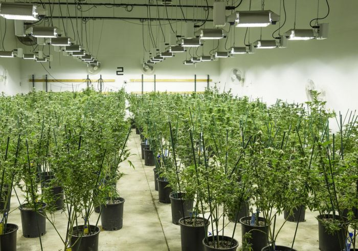 cannabis plants in a large grow room