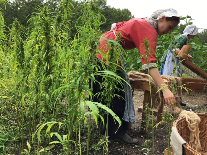 person picking hemp from field