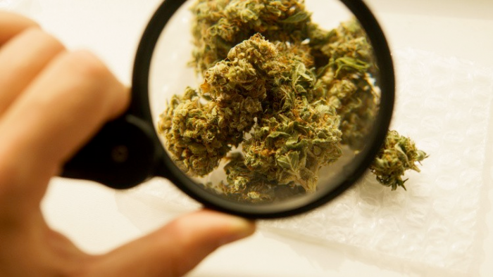 cannabis under a magnifying glass