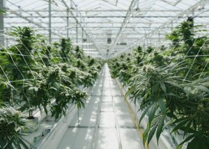 cannabis growing opperation