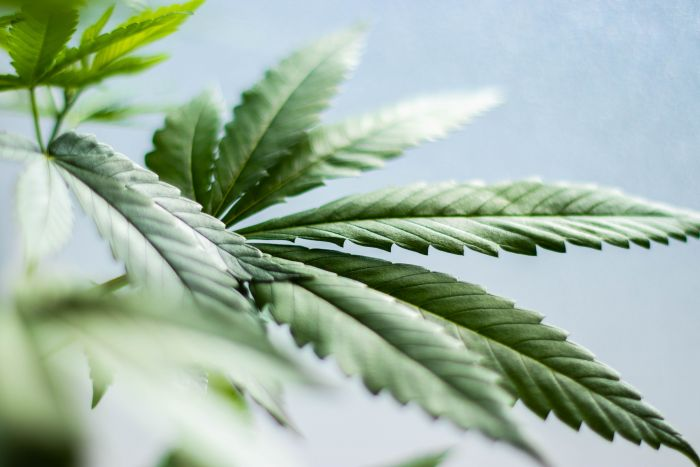 Unimap becomes first public university to conduct research on hemp cultivation