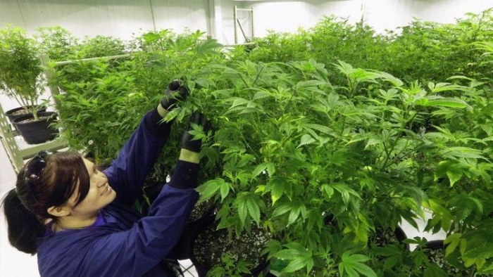 an argument in favor of the legalization of marijuana in the united states of america Newspapers and research papers an argument in favor of the legalization of marijuana in the united states of america an opinion that the war on drugs has given rise.