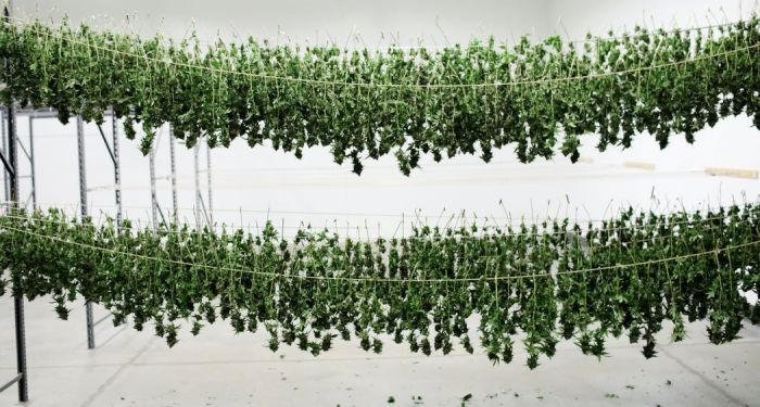 cannabis being hung to dry