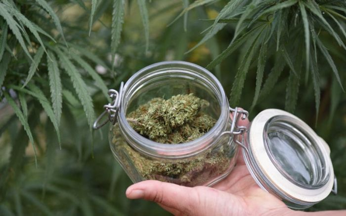 glass jar filled with cannabis against backdrop of marijuana plants