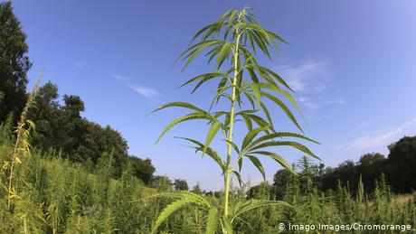 hemp plants growing outdoors
