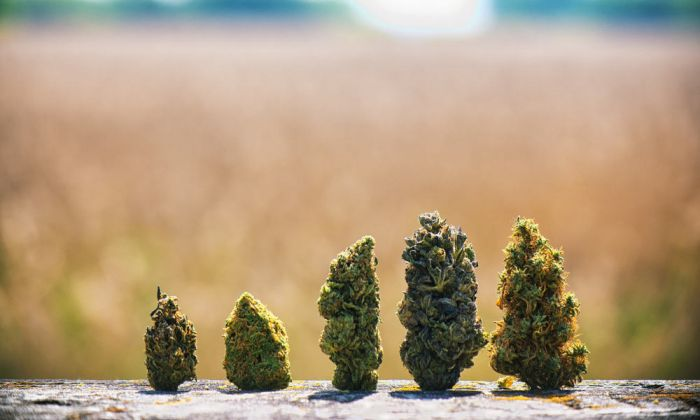 field in background of a row of cannabis buds
