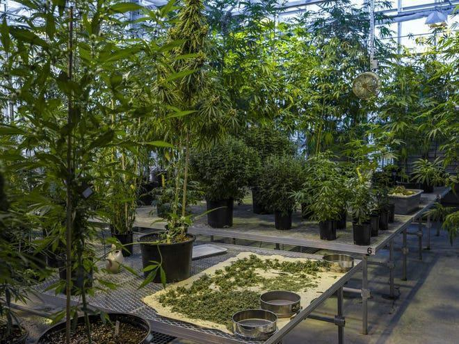 'Weed' farming to be permitted in Ghana
