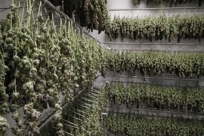 cannabis plants hung up to dry