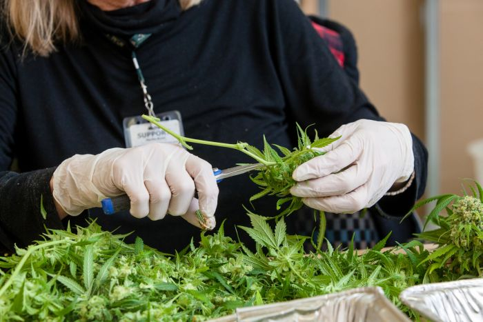 worker cutting up marijuana leaves