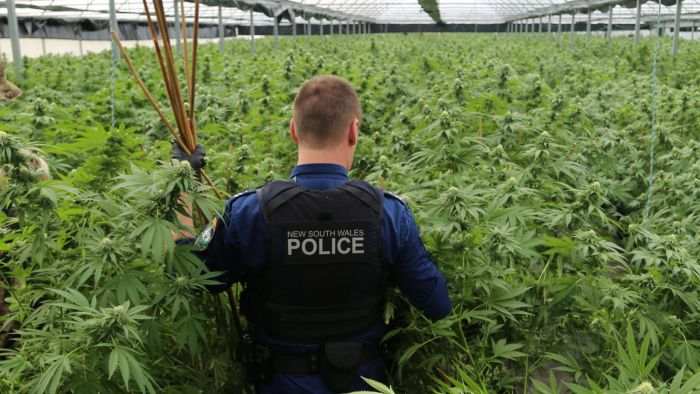Police in New South Wales have seized more than $100-million worth of cannabis in 2020