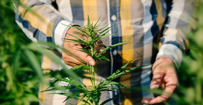 man caring more marijuana plants