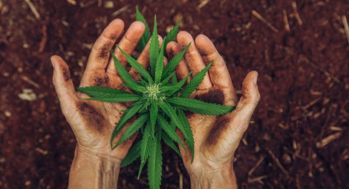hands holding cannabis plant