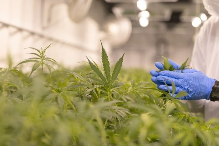 Canada: Cannabis steers healthy increase in agriculture income