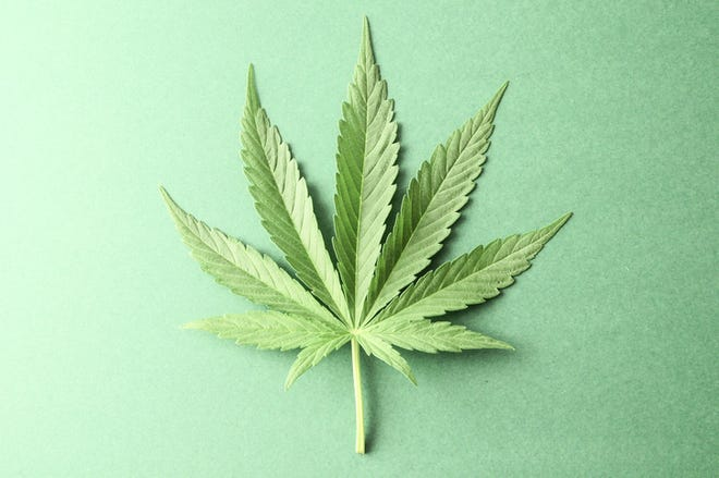 marijuana leaf against a green background