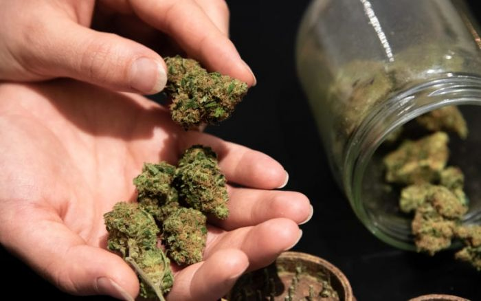hand holding out cannabis buds