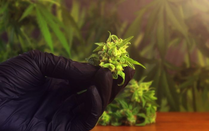 hands with black gloves holding cannabis buds