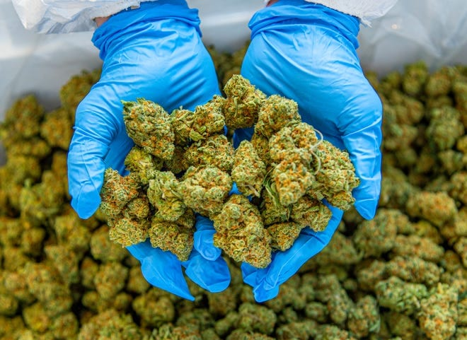hands holding piles of cannabis buds