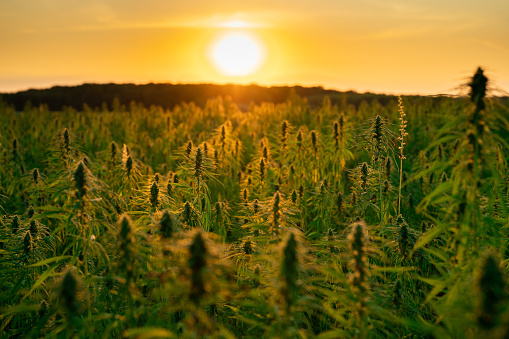 Hemp farmer accused of illegal growing had his crop destroyed in SC. Now he's suing