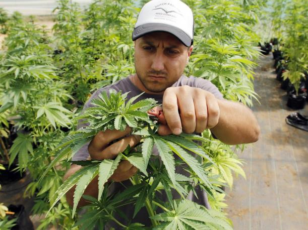 Since last December, Chile has legislation permitting the production and sale of products derived from the hemp plant. (Photo: EFE)