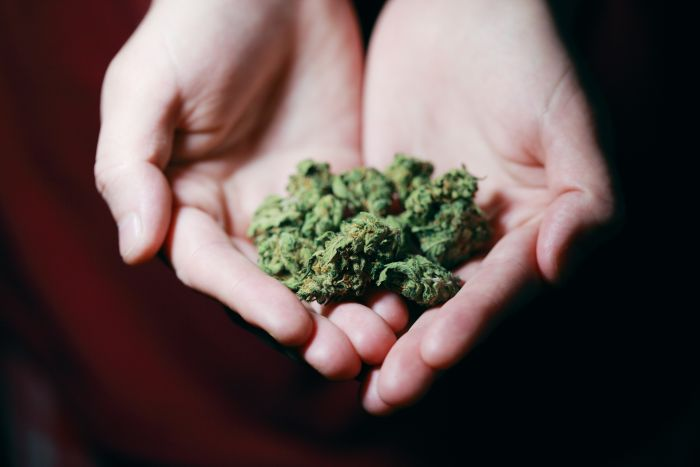 hands holding cannabis buds